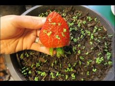 Gardens Discover Cách ươm hạt dâu tây ở Mỹ.How to grow strawberries from seed. Regrow Vegetables, Container Gardening Vegetables, Growing Vegetables, Home Vegetable Garden, Fruit Garden, Edible Garden, Garden Plants, Strawberry Seed, Strawberry Plants