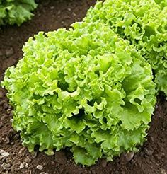 Technically a Batavian type, Muir Lettuce has light green, extra wavy leaves that form dense heads at a small size