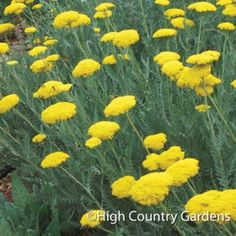 "The huge flat topped deep golden-yellow flowers clusters of 'Gold Plate' seem to hover over the garden like golden flying saucers. Held high on sturdy stems, the 4-6"" wide flat topped flowers of this long blooming giant add incredible architecture to the garden, especially when combined with tall Agastache and Penstemon. Easy-to-grow in many climates and soil types. Deadhead for summer long blooms. Pot size 5"" deep premium."