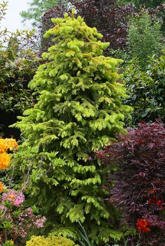 Picea abies 'Aurea Magnifica' (Magnificent Golden Norway Spruce) in late spring   Flickr