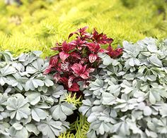 Use Colorful Foliage:   Contrasting foliage colors and textures can create even more impact than using flowers in the garden. This stunning planting, for example, employs blue-gray oxalis, purple polka-dot plant, and golden Angelina sedum.