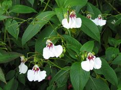 Impatiens_tinctoria, winterhart, stirbt im Winter ab, treibt neu aus, tolle Pflanze