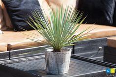 Yucca Rostrata, een palmboompje maar wel een winterharde palm. Voor een Mediterraans of zelfs exotisch tintje aan je tuin.