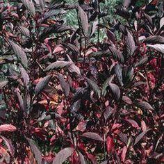 Cornus Kesselringii - Black stem Dogwood - Google Search