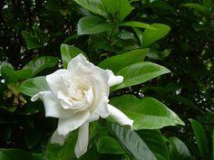 Gardenia Care - How to care for your Gardenia Plant | Tips 'n Ideas