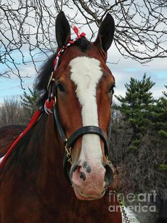 Clydesdale Horse Marcia L Jones