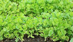 coentro (Coriandrum sativum)