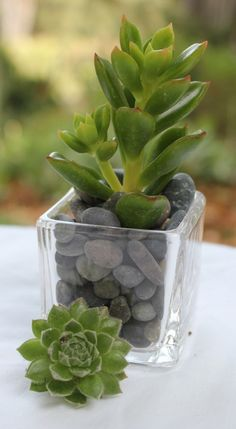 100 Gorgeous Rosette 2 potted  Succulents with by SANPEDROCACTUS, $290.00
