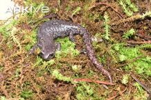 Gadow's false brook salamander, female