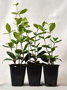 Confederate-Jasmine-Plant-Tree-6-Pack-White-Flowers-New