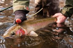 Salmon river, Idaho, Sun Valley, Idaho, United States. View Silver Creek Outfitters's fishing report in Salmon river, Idaho, United States for Steelhead, Rainbow trout, Whitefish, Smallmouth Bass from 03/31/2016 to 03/31/2016 in Fly dreamers.