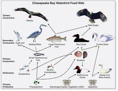 Here's a diagram comparing terrestrial and aquatic food