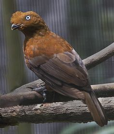 Andean Cock-of-the-Rock ( Female )