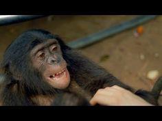 Ape Makes A Fire: Kanzi The Bonobo Makes A Campfire - YouTube