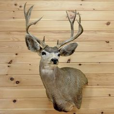 Mule Deer Wall Pedestal Taxidermy Mount SW2909 for sale at Safariworks Taxidermy Sales