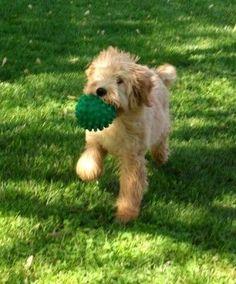 FANTASTIC training tips for Goldendoodle pups. More