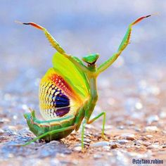 Amazing Praying Mantis (Image via NRDC)