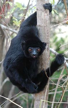 All species of lemurs are endemic to Madagascar, including the black-and-white ruffed lemur ( Varecia variegata, above) and the Perrier's sifaka (Propithecus perrieri), one of the most endangered of all lemurs. (Photos by Edward E. Louis Jr.)