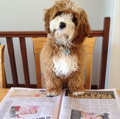 Ned the Cavoodle, mix of miniature poodle and King Charles cavalier spaniel. So cute!