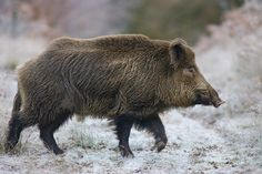 Extremely omnivorous, wild boar will eat almost anything they come across from berries and nuts to insects and even small deer. Animals Beautiful, Cute Animals, Small Animals, Wild Animals, Wild Boar Hunting, Small Deer, Dangerous Animals, Interesting Animals, Animals Of The World