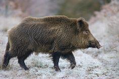 Russian Boar in wild | Russian Boar