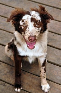 I think this is one of the better portraits I've taken this summer! Six month old working Australian Shepherd Explored! Cute Dogs And Puppies, I Love Dogs, Doggies, Really Cute Dogs, Puppies Puppies, Terrier Puppies, Baby Dogs, West Highland Terrier, Beautiful Dogs