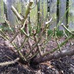 How to Care, Plant, and Prune Drift Roses. Also different colors and Landscape Ideas for Drift Roses using containers, hanging pots and in… Landscape Plans, Landscape Design, Landscape Materials, When To Prune Roses, Ground Cover Roses, Drift Roses, Colorful Shrubs, Pruning Roses, Tall Shrubs