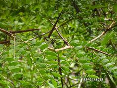 árbol con espinas de cruz, queretaro