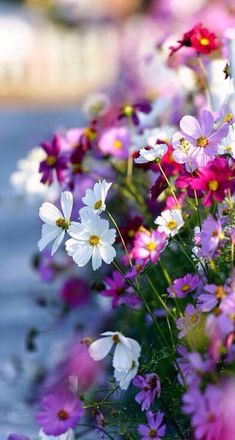 loriedarlin: cosmos flowers in the garden by Thunderbolt_TW (Bai Heng-yao) photography on Getty Images