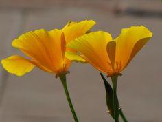 Yellow Poppy for Poppy Beauty, magic and consolation Wikipedia, the free encyclopedia