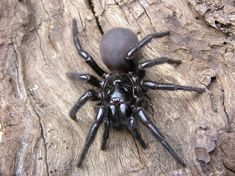 A Sydney funnel-web spider. These spiders are among the most venomous in the world.