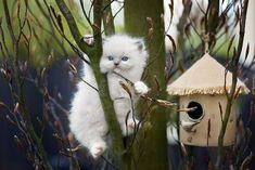 Biały, Kotek, Ragdoll, Niebieskie, Oczy, Gałęzie, Pąki, Magnolia, Budka lęgowa