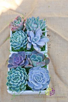 **NOTE: Please indicate if this is for Valentines Day and we will ship it to arrive closer to Valentines Day. All other orders will follow normal processing times. Succulent arrangement with 4 beautiful Echeveria succulents in a white square container. The container measures
