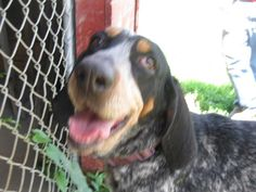 **CARLY - SENIOR - Coonhound & Bluetick Coonhound Mix** • Female • Large Holmes County Humane Society Glenmont, Ohio ~LK~ November is ADOPT A SENIOR Pet Month! HOLMES COUNTY HUMANE SOCIETY Glemont, Ohio (330) 377-4026 annehchs@gmail.com http://www.holmeshumane.org/texis/HUMANE/website/main.html