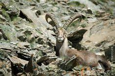 Ibex in Alps mountains 🌞 🐏 🐂 A 3000 mètres d'altitude, au soleil.  Bouquetin - Parc Naturel Régional du Queyras - Alpes - France NIKON D7000 + NIKON 70-200mm f/2.8 AF-S ED VR II + NIKON TC-14E II Teleconverter RAW + Lightroom v5.7 07/2016  #bouquetin #Alpes #Queyras #ibex #alps #mountain #parcnaturelregionalduqueyras #wildlife #France #animal