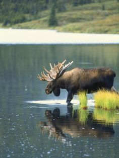 Bull Moose Wading in Tundra Pond, Denali National Park, Alaska, USA Fotodruck von Hugh Rose bei AllPosters. Moose Deer, Moose Hunting, Bull Moose, Pheasant Hunting, Turkey Hunting, Archery Hunting, Moose Pictures, Hunting Pictures, Animal Pictures
