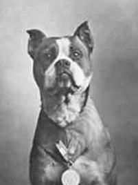 Sergeant Stubby  War dogs: pit bulls in the military