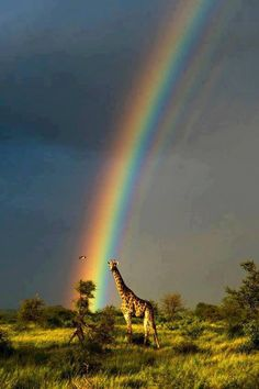 in front of a rainbow. : Giraffe in front of a rainbow.Giraffe in front of a rainbow. : Giraffe in front of a rainbow. Beautiful Creatures, Animals Beautiful, Beautiful World, Beautiful Places, Amazing Places, Cool Pictures, Cool Photos, Nature Pictures, Foto Poster