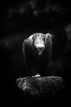 Black & white eagle | eagle, black & white, stone