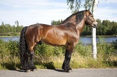 North Swedish Horse - stallion Lipton