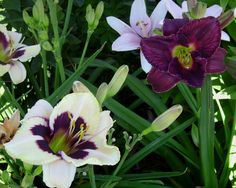 "Moonlight Masquerade Daylily: 26"" plant supports gorgeous 5.5"" flowers. The contrast of cream and purple is an eyecatcher. each flower lasts a day - Daylily. reblooms."