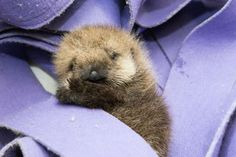 The orphan baby otter is getting the round-the-clock care that she needs to thrive at Shedd Aquarium.  She spent the first four weeks of her life at the Monterey Bay Aquarium. <span class=meta>(©Shedd Aquarium/Brenna Hernandez)</span>