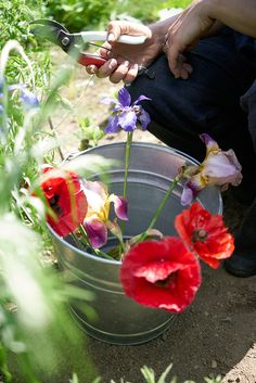 Collecting poppies for DIY natural dying
