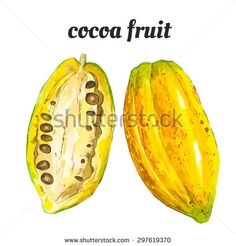 Vector illustration with watercolor fruit. Watercolor illustration of a painting technique. Fresh organic food. Cocoa fruit. - stock vector