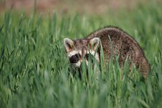 A Raccoon In The Tall Grass