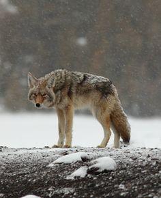 wolf _ yellow stone park