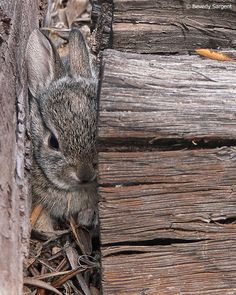 A wild rabbit takes cover. © Beverly Sargent