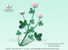 Alsike clover Trifolium hybridum