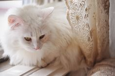 white cat & lace