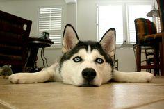 I love Siberian huskies. Maybe someday...